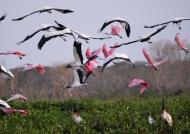 Spoonbills & Wood Storks