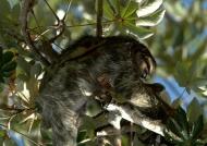 Adult Sloth