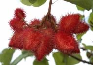 Achiote tree fruit
