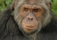 Old Chimp