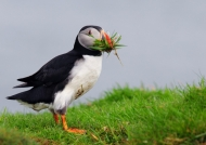 Cutting grass for its nest