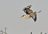 Heron attacked by Caracara