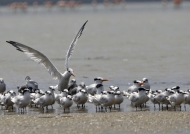 Royal & Cabot's Terns