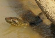 Female anaconda hiding