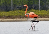 Flamingo with Juvenile
