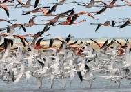 Flamingos & Cabot's Terns