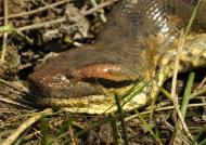 Male anaconda