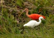Scarlet Ibis & Snowy Egret