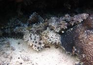 Crocodile Fish head