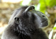 Indonesia – North-Sulawesi – Crested Macaque
