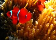 m. Spine-cheek Anemonefish