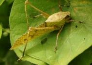 Brown Long-legged Katydid