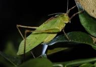 Green Long-legged Katydid