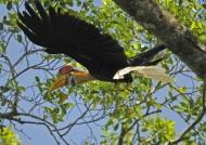 Knobbed Hornbill