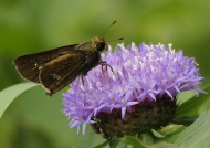 Parnara Skipper Butterfly