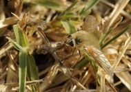 Large Bee-fly