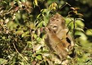 Assamese Macaque