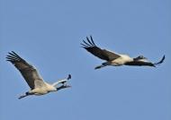 Black-necked Cranes m. & f.