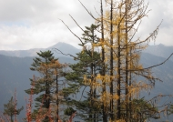 Larch and pine trees