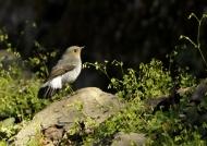 Plumbeous Water Redstart f.