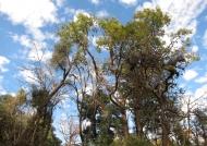 Spectacular trees of Bhutan