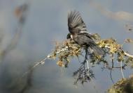 White-collared Blackbird