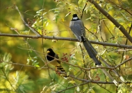 Yellow-billed Blue Magpie