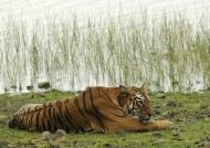 Tiger – Tadoba N.P.