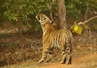 Pench – Tiger's territory