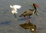 Black Stork & little Egret