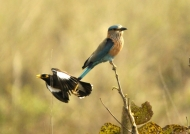 Indian Roller & Mynah