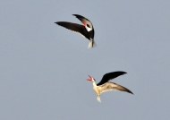 Indian Skimmers