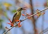 Purple Sunbird – female