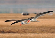 Pair of Indian Skimmers