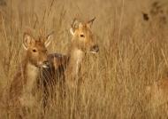 Barking Deers
