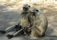 Couple with baby Langur