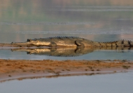Gharial in Chambal River