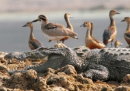 Croc. & Great Thick-knee