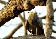 African Harrier Hawk