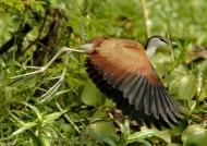 Malawi – African Jacana – juvenile