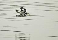 Pied Kingfisher – female