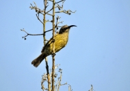 Bronzy Sunbird – f.