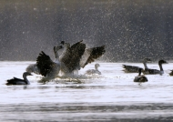 Comb Duck parade