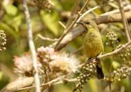 Eastern Olive Sunbird