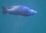 Dimidiochromis kiwinge – m.