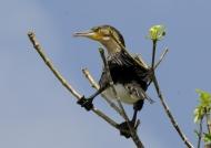 Malawi – White-breasted Cormorant