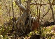 Fig trees growing on rocks