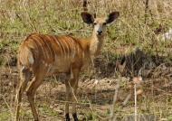 Nyala Antelope – female