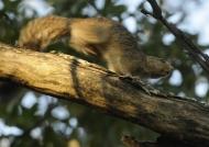 Red-legged Sun Squirrel