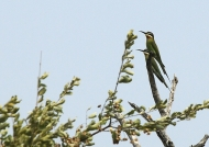 Madagascar Bee-eaters